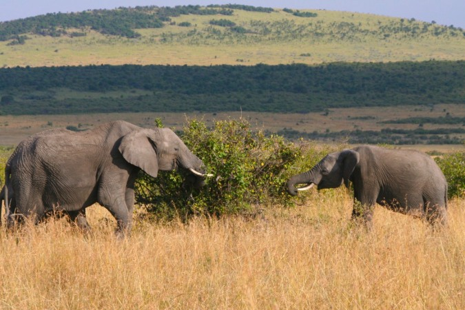 Two elephants eating a tree, Maasai Mara, Kenya, Africa
