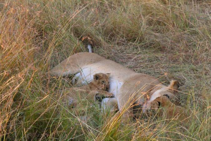 Lioness with cubs, Maasai Mara, Kenya, Africa