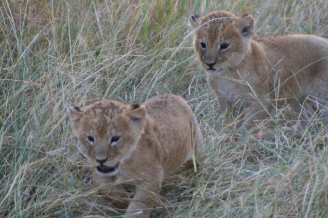 Lion cubs, Maasai Mara, Kenya, Africa