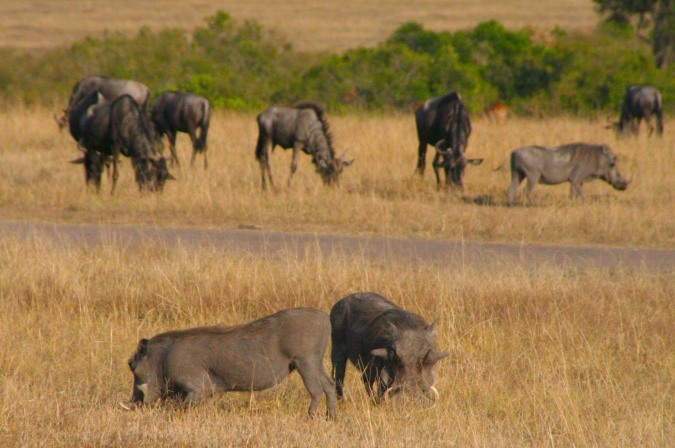 Warthogs and Wildebeest, Maasai Mara, Kenya, Africa