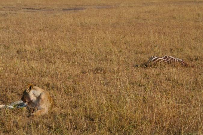 Lioness with her kill, Maasai Mara, Kenya, Africa