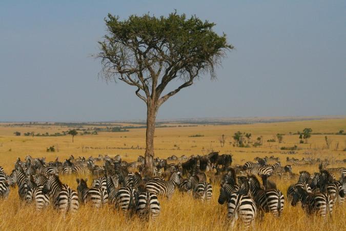 Zebra and Wildebeest, Maasai Mara, Kenya, Africa