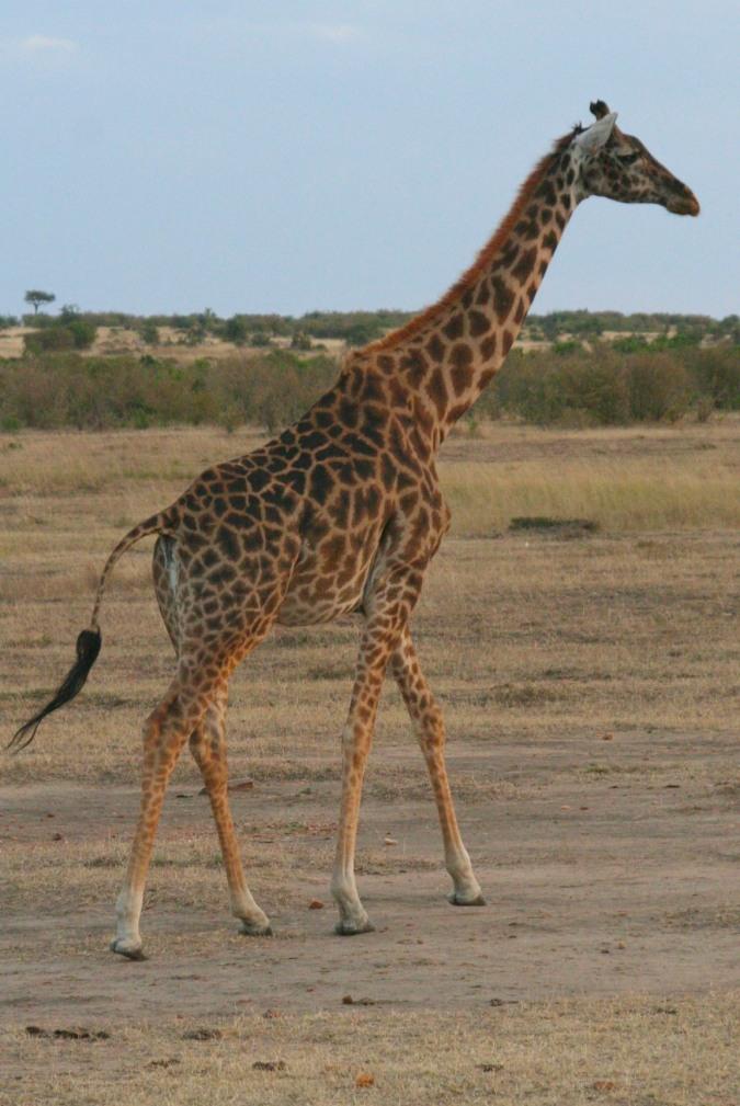 Giraffe, Maasai Mara, Kenya, Africa