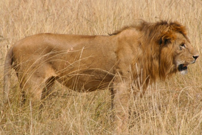 Lion in the Maasai Mara National Reserve, Kenya, Africa