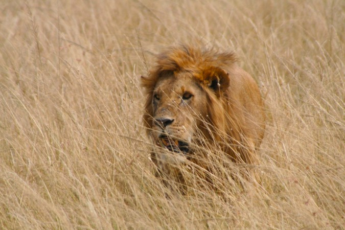 Is it time to run yet? A lion approaches in the Maasai Mara, Kenya, Africa
