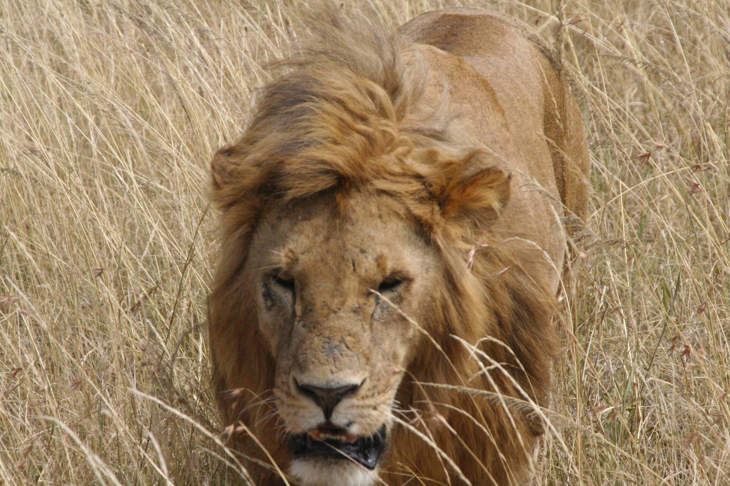 Lions of the Maasai Mara, alarming and amorous ...