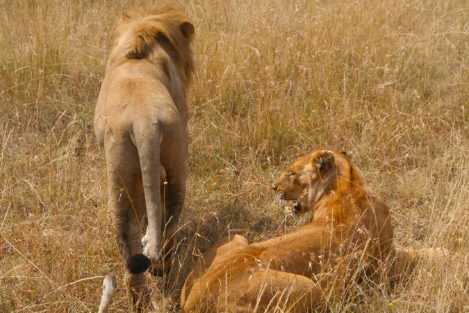 Lions mating in the Maasai Mara National Reserve, Kenya, Africa