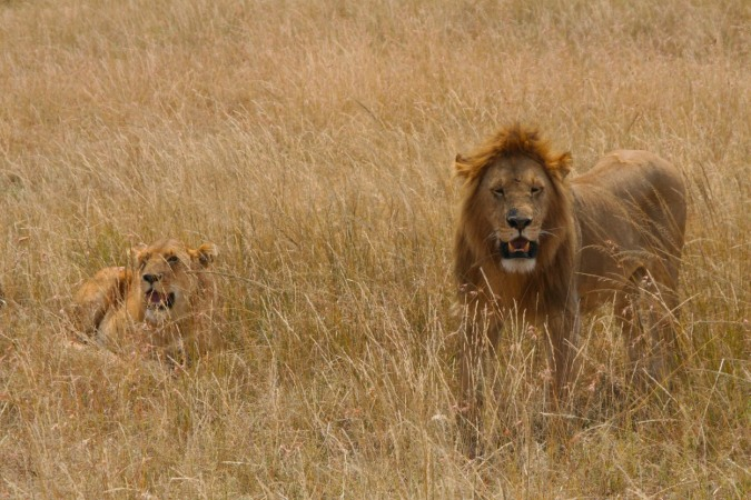 Post-coital lions in the Maasai Mara National Reserve, Kenya, Africa