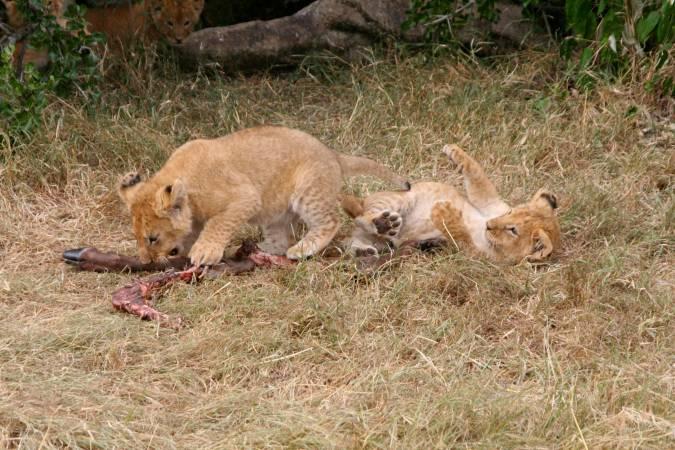 Lion cubs 'play' with the legs of a dead antelope, Maasai Mara, Kenya, Africa