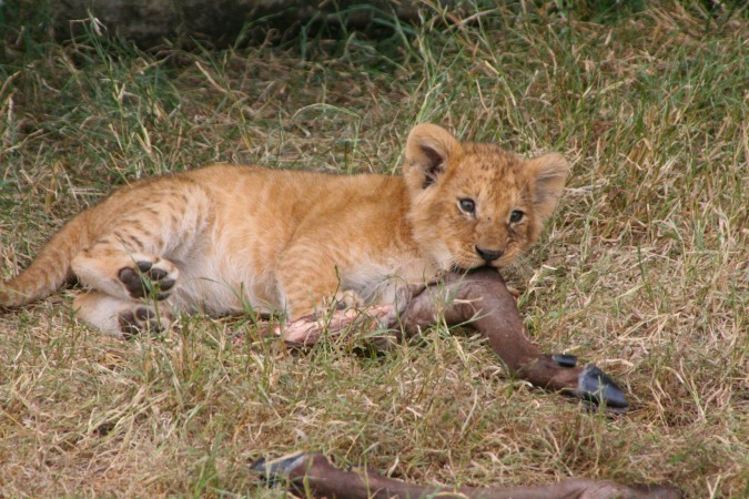 Lion cubs 'play' with the legs of a dead antelope, Maasai Mara, Kenya, Africa