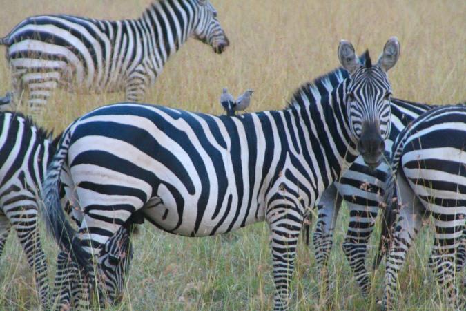 Zebra with Oxpecker, Maasai Mara, Kenya, Africa
