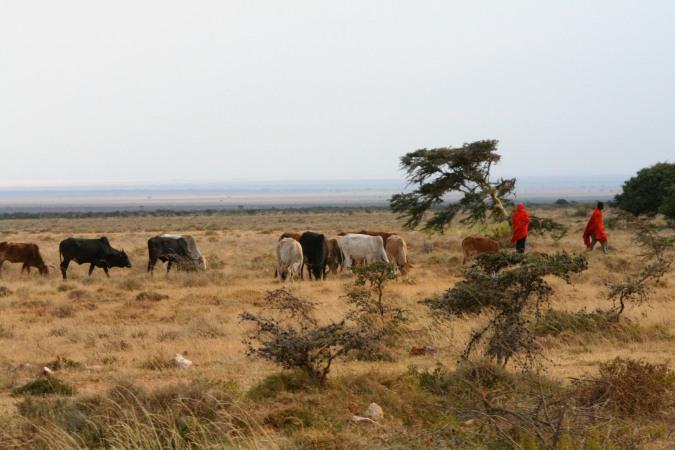 Maasai herdsmen and cattle, Maasai Mara, Kenya, Africa