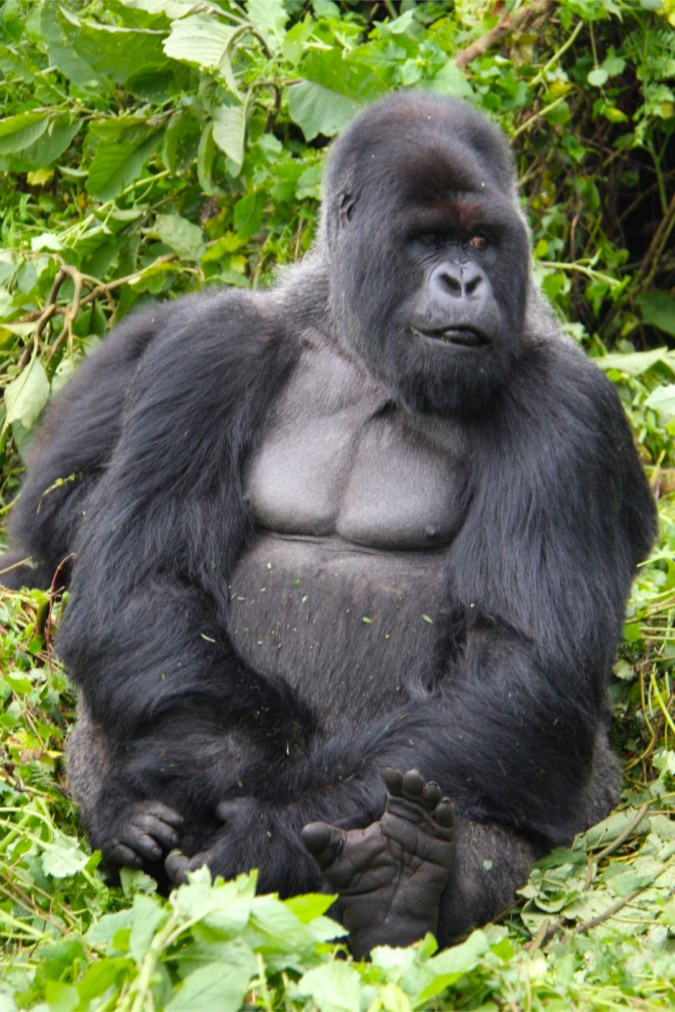The King in his jungle, mountain gorilla, Rwanda, Africa