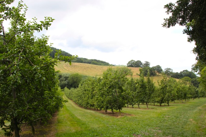Cider apple orchard on the Worcestershire Way, Worcester, England