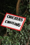Chickens crossing, Three Choirs Way, Worcestershire, England