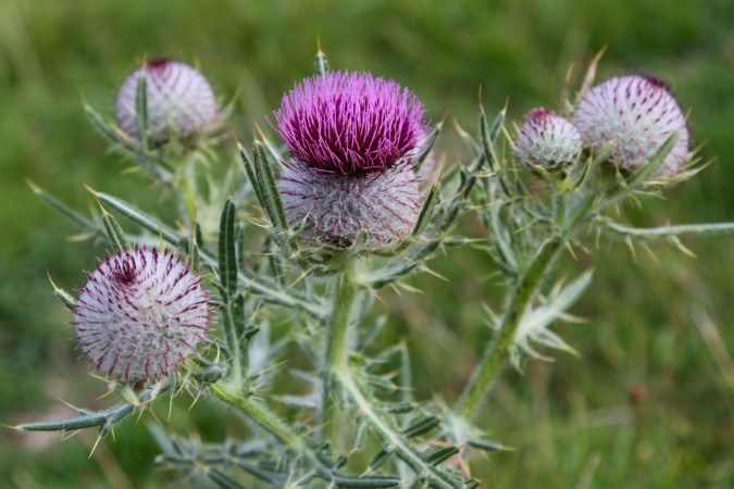 Scotch Thistle, Herefordshire, England