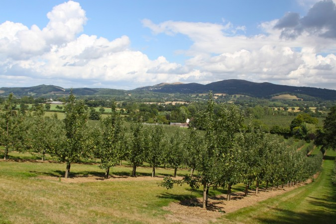 Cider apple trees, Colwall, Herefordshire, England