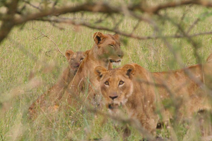Blood stained lionesses, Maasai Mara National Reserve, Kenya, Africa