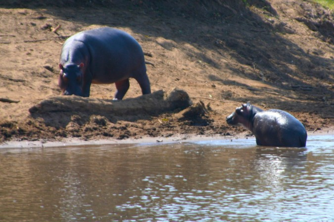 Hippopotamus with baby in the Maasai Mara National Reserve, Kenya, Africa
