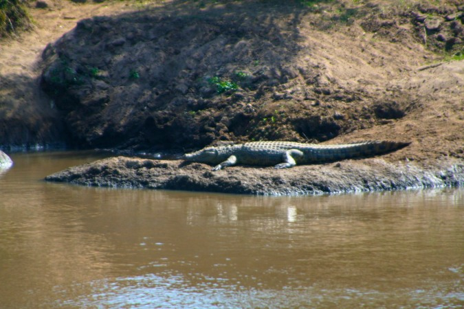 Crocodile in the Maasai Mara National Reserve, Kenya, Africa