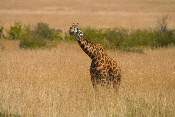 Giraffe in the Maasai Mara National Reserve, Kenya, Africa