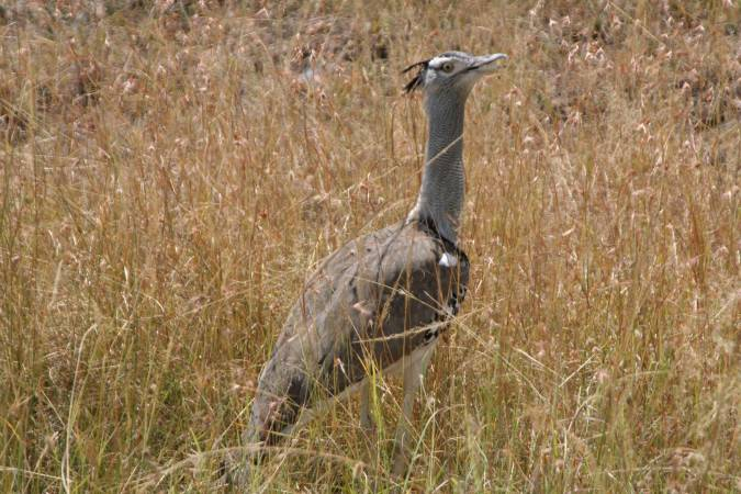 Kori Bustard in the Maasai Mara National Reserve, Kenya, Africa