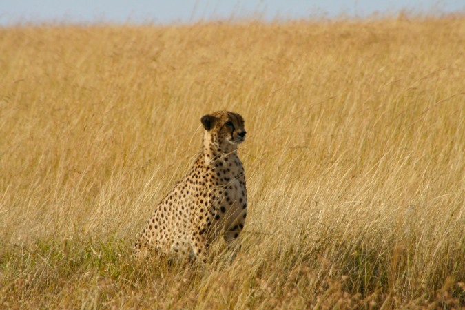 Cheetah in the Maasai Mara National Reserve, Kenya, Africa
