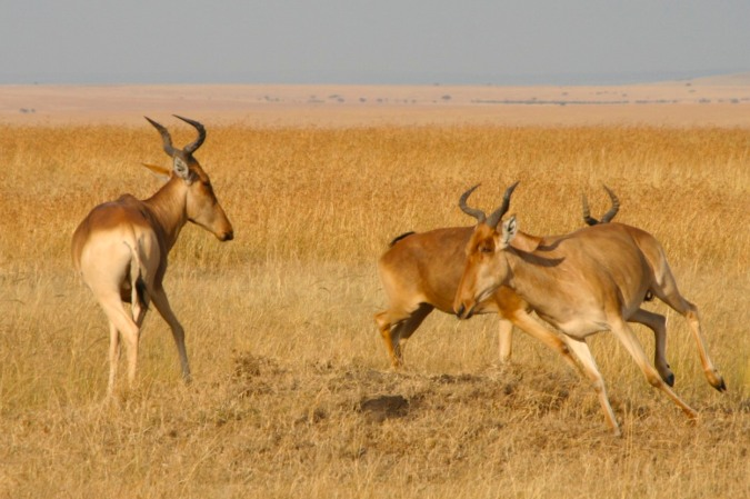 Coke's Hartebeest in the Maasai Mara National Reserve, Kenya, Africa