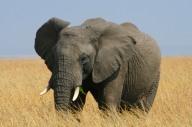 African Elephant in the Maasai Mara National Reserve, Kenya, Africa