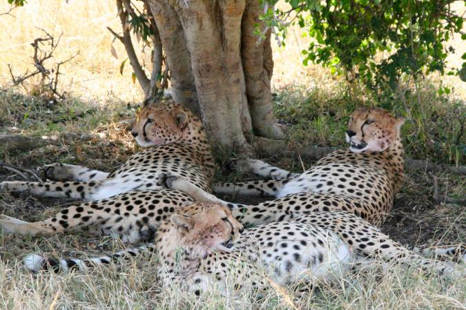 Cheetahs in the Maasai Mara National Reserve, Kenya, Africa