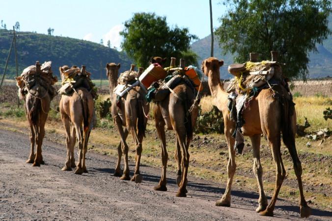 Camels in Axum, Ethiopia, Africa