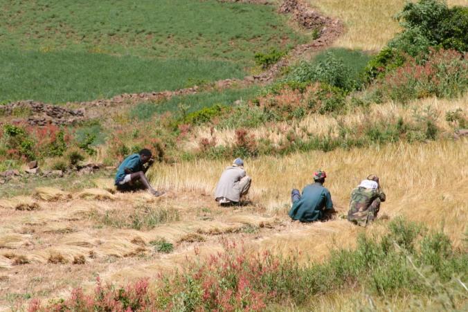 Men working in the fields, Axum, Ethiopia, Africa