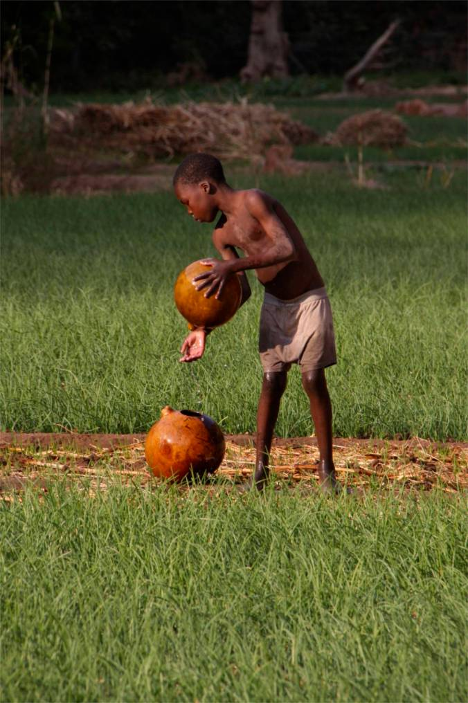 Onions being grown in Dogon Country, Mali, Africa