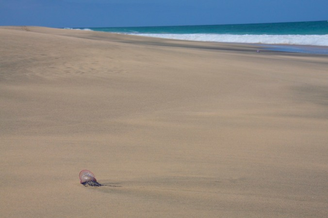 Jellyfish on the beach, Maio, Cape Verde, Africa