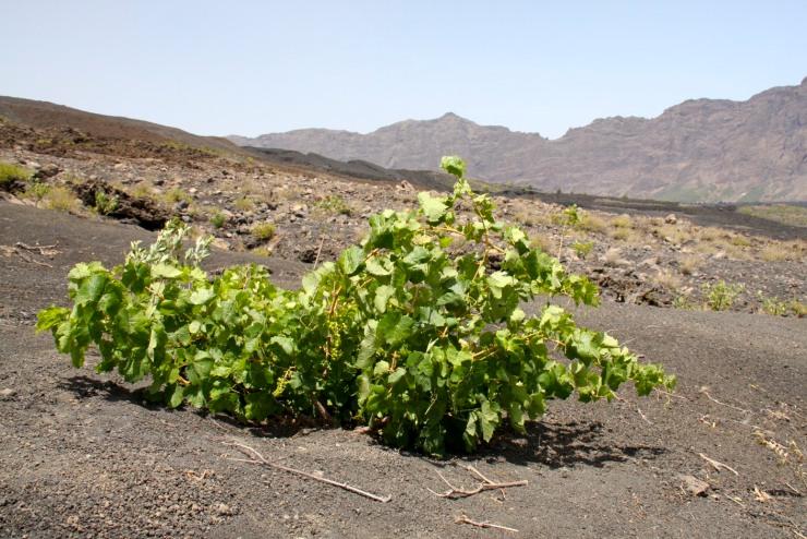 Grape vine in the crater, Pico do Fogo, Fogo, Cape Verde, Africa