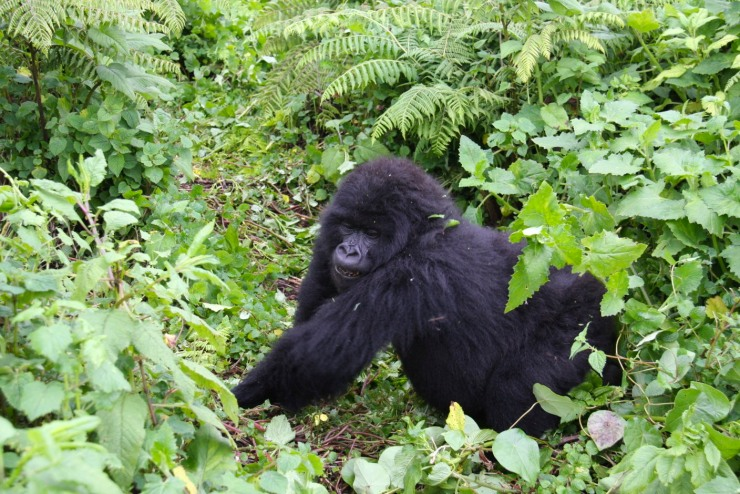 Mountain Gorilla, Volcanoes National Park, Rwanda, Africa