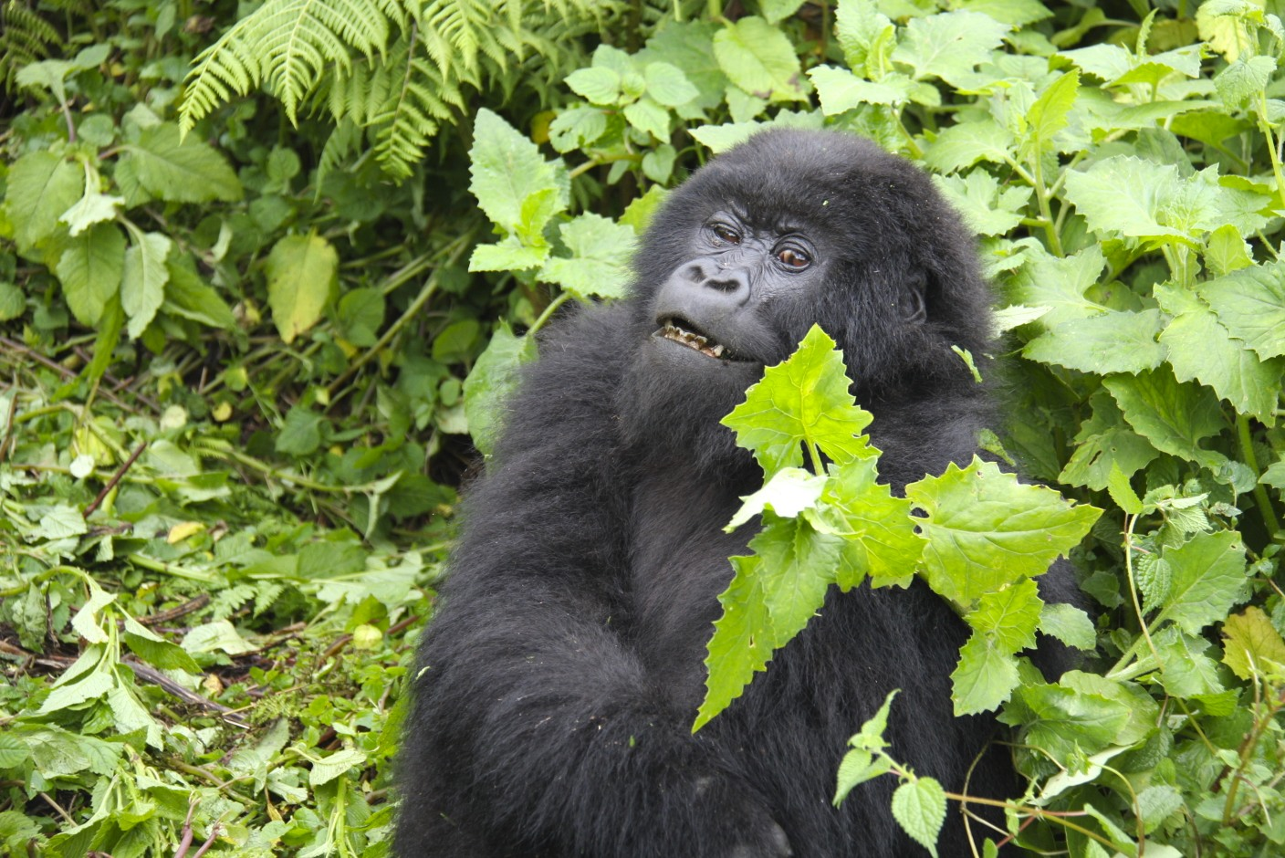 the mountain gorilla A mountain gorilla from the family of mountain gorillas named amahoro, which means peace in kinyarwanda, the rwandan language, forages for food high in a tree in the dense forest on the slopes.