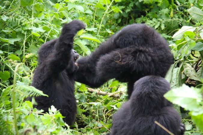 Aping around, young Mountain Gorillas, Volcanoes National Park, Rwanda, Africa