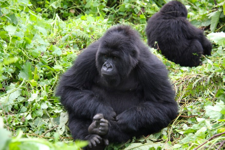 Gorillas in the Volcanoes National Park, Rwanda, Africa