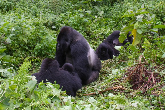 Dominant silverback gorilla in the Volcanoes National Park, Rwanda, Africa