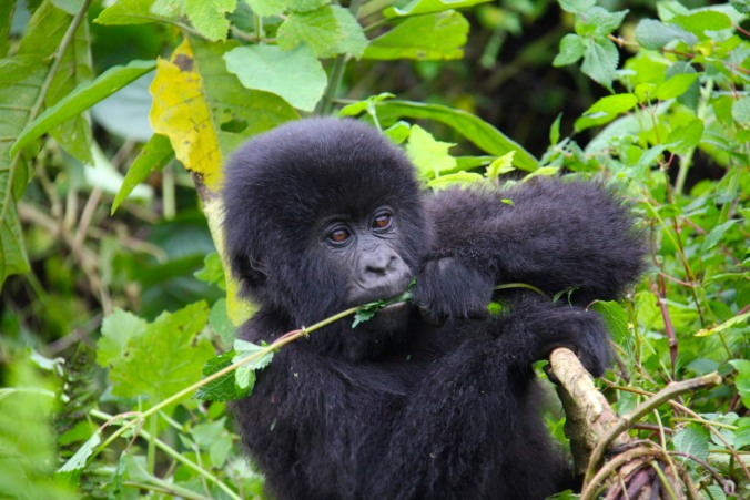 Baby gorilla in the Volcanoes National Park, Rwanda, Africa