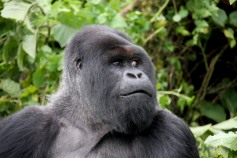 Silverback dominant male Mountain Gorilla, Volcanoes National Park, Rwanda, Africa