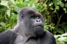 Silverback dominant male Mountain Gorilla, Volcanoes National Park, Rwanda, Africa