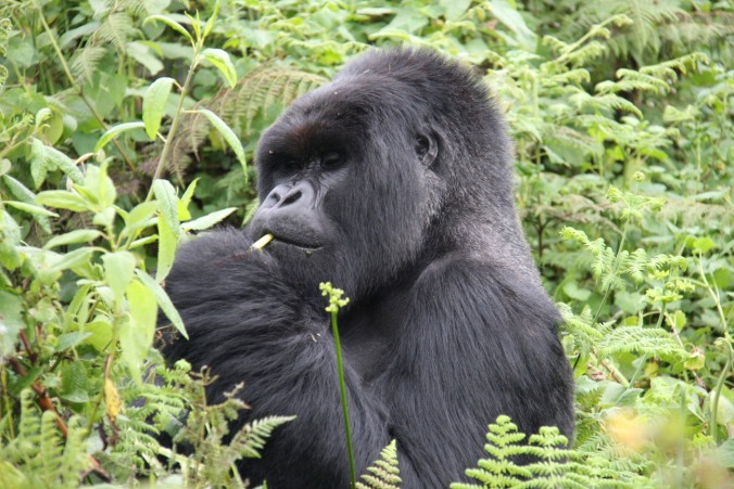 Silverback gorilla in the Volcanoes National Park, Rwanda, Africa
