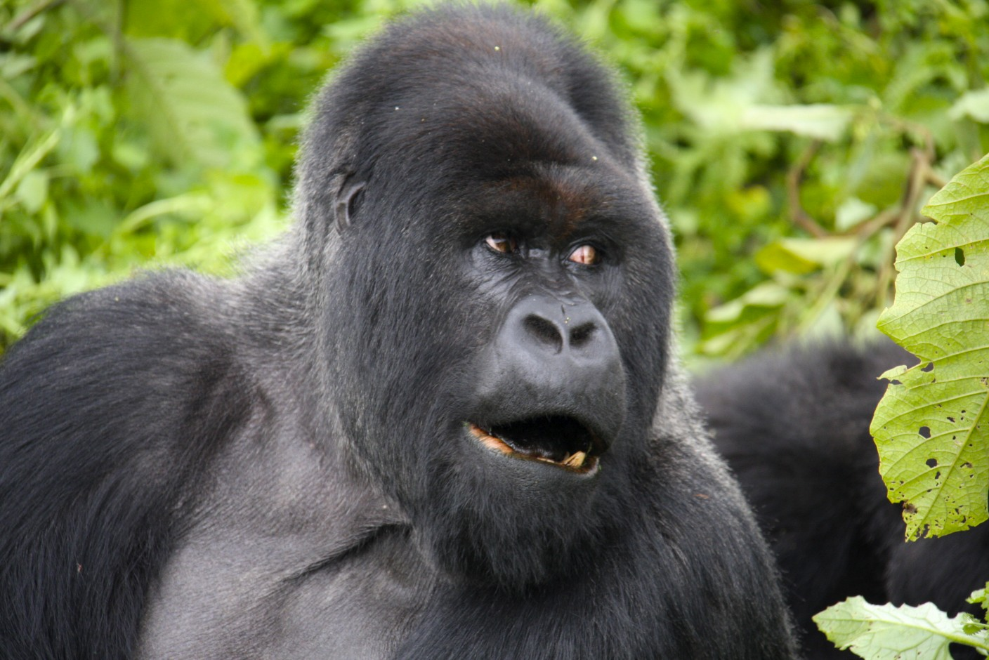African silverback gorilla - photo#15