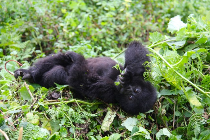 Baby Mountain Gorilla, Volcanoes National Park, Rwanda, Africa