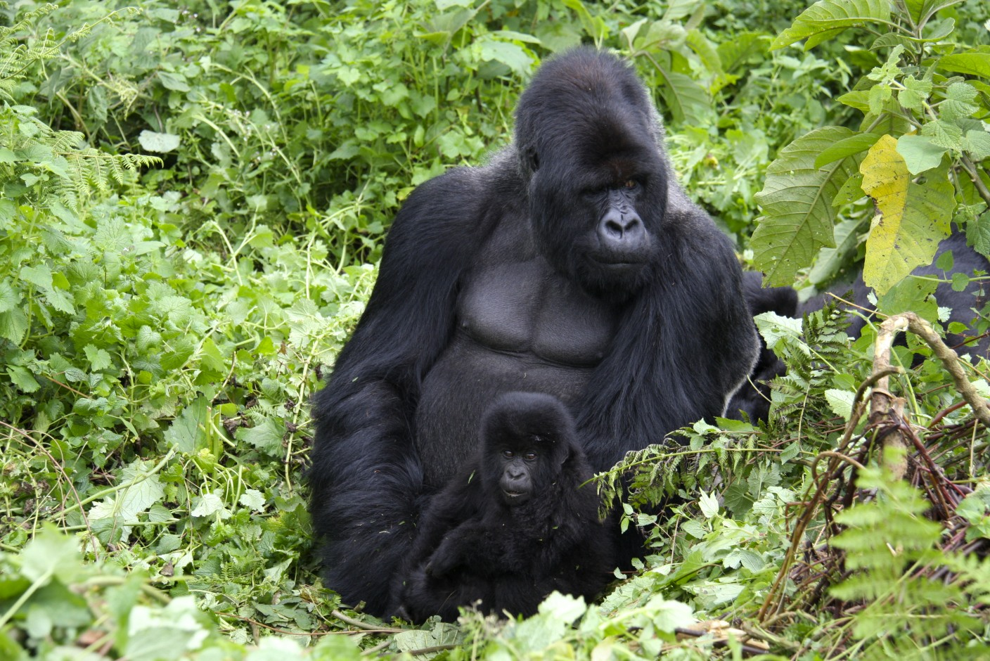 African silverback gorilla - photo#24