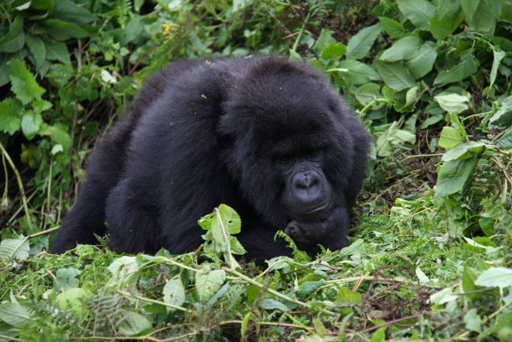 Gorilla in the Volcanoes National Park, Rwanda, Africa