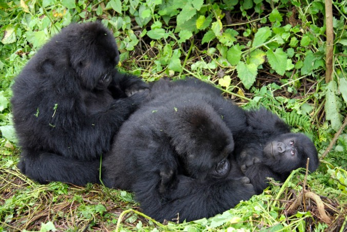 Gorillas grooming in the Volcanoes National Park, Rwanda, Africa