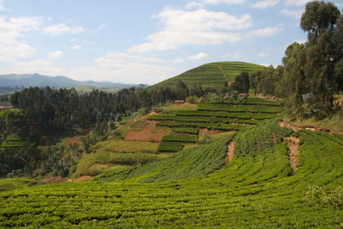 Tea plantation on the road from Gisenyi to Kibuye, Rwanda, Africa